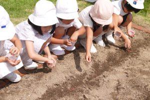 園庭の畑でにんじんの種まき