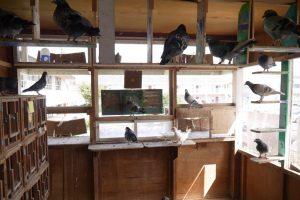 年長さんは伝書鳩を飼育(年中はうずら、年少は十姉妹)